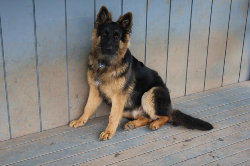 What Doesdid Your 6 Month Old Pup Weigh German Shepherd Dog Forums