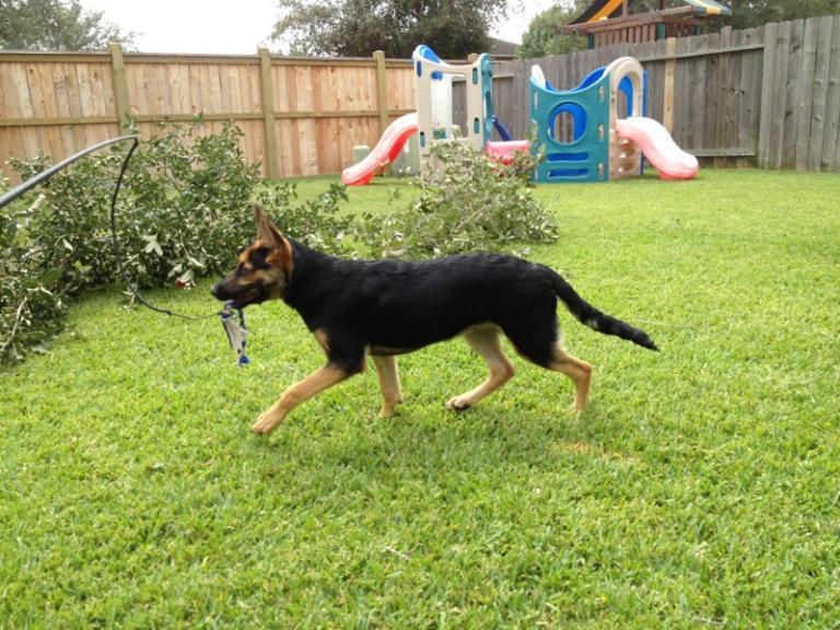 5 Month Old Seven German Shepherd Dog Forums