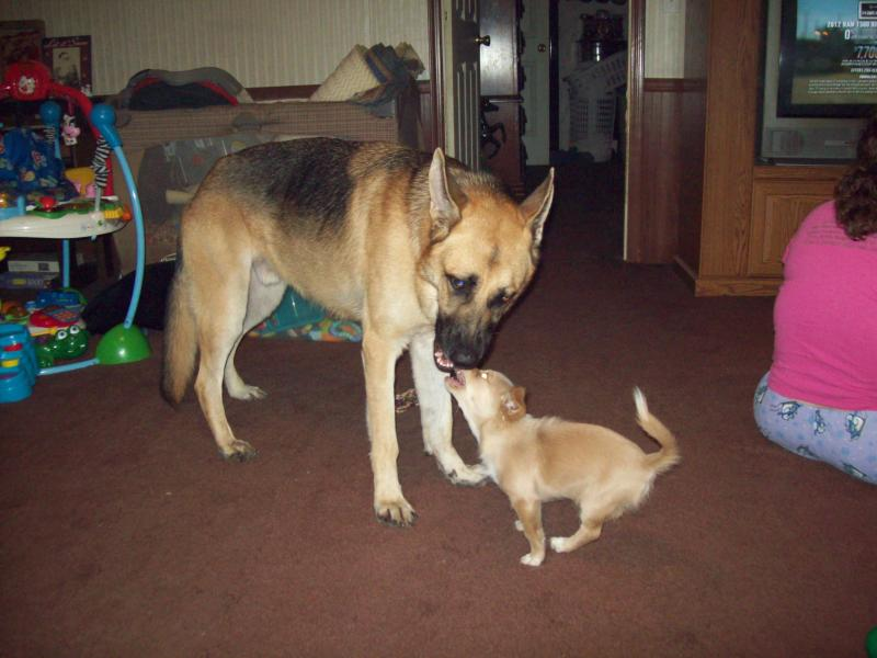 Is there a Height X Weight GSD growth chart?-10-11-12-samson-delilah-2.jpg