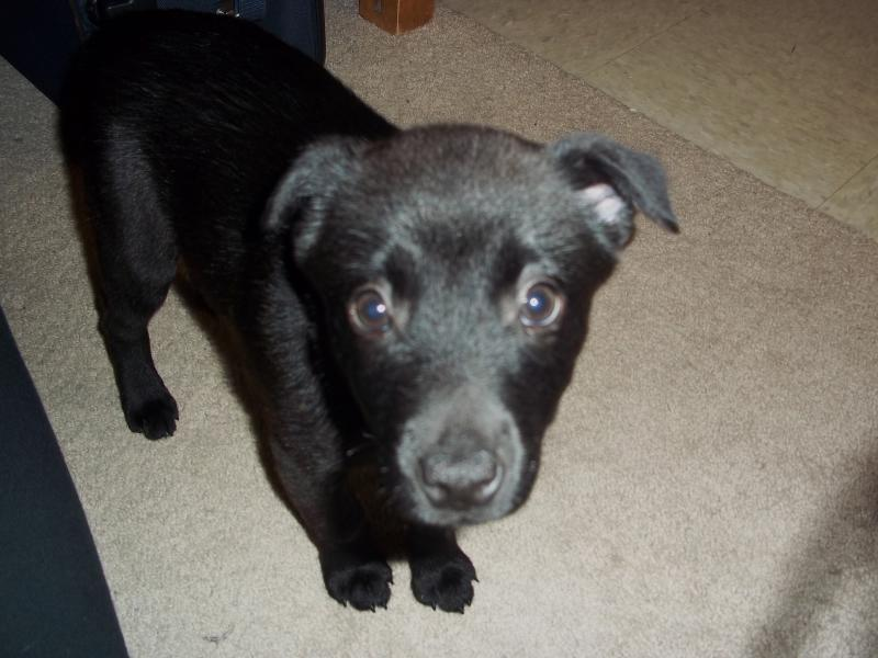 Possible Chihuahua Mix Page 2 German Shepherd Dog Forums