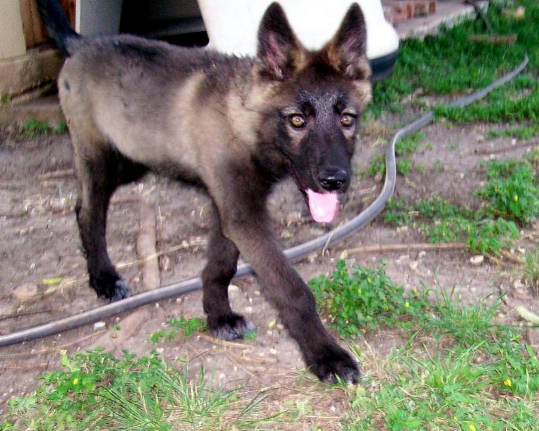 Black German Shepherd Wolf Hybrid Black german shepherd wolf