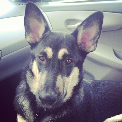 German Shepherd Wolf mix???-1017681_544632062240386_1576225969_n.jpg