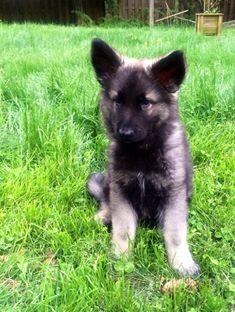 Meet Gryphon! (Shiloh Shepherd)-10305185_10201690782461789_3787736037679747046_n.jpg