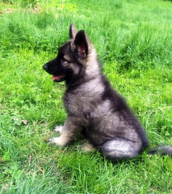 Meet Gryphon! (Shiloh Shepherd)-10351907_10201690782621793_7570349636103815059_n.jpg