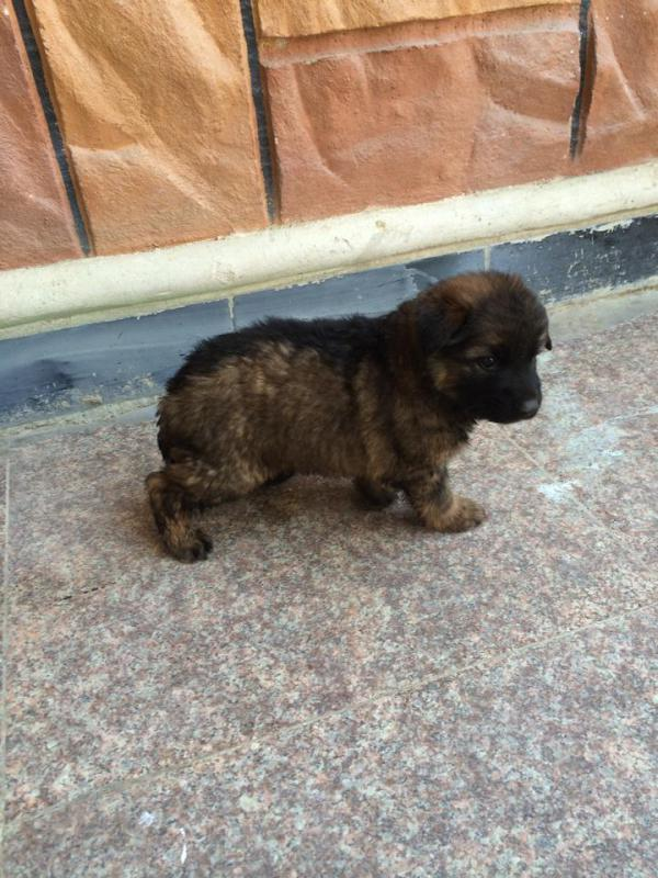 Would you please check my new German Shepherd?-10361407_1437914153129610_8245847316729146361_n.jpg