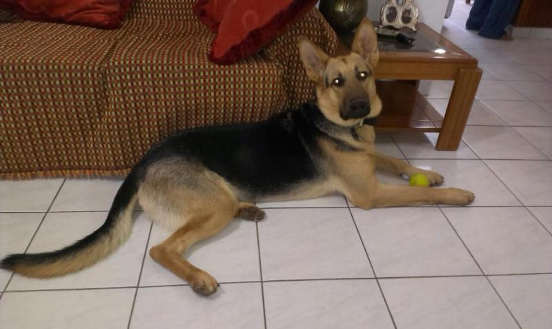 What do you think guys of my 13 months male puppy?-10405367_10152570046509187_3533489055701046655_n.jpg