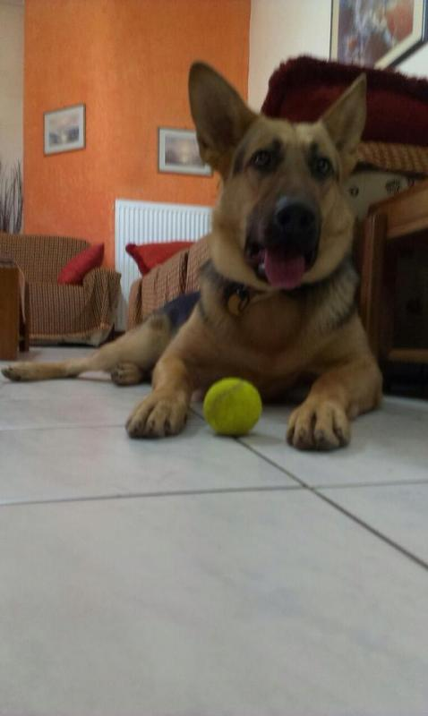 What do you think guys of my 13 months male puppy?-10411990_10152570046124187_3587167909660296857_n.jpg