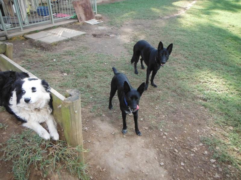 German Shepherd Female - needs a temporary home (Australia)-10452355_691740860862511_2964956723914554056_n.jpg
