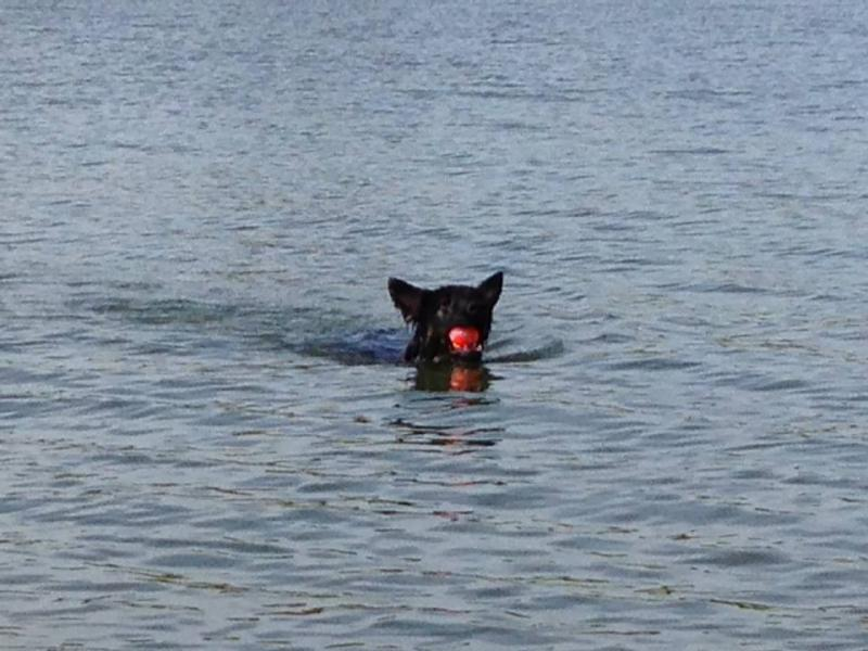 FINALLY got Kaiju to swim!-10553508_10152524162236077_1852621961119919877_n.jpg
