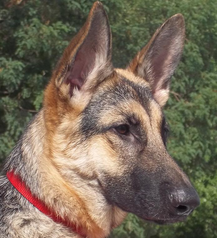 Show me your american showline GSD's-105_0265_2.jpg