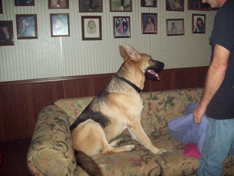 Is There A Height X Weight Gsd Growth Chart German Shepherd Dog