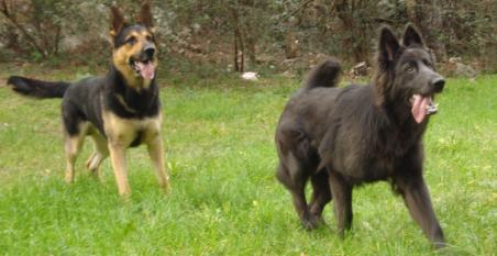 Sorry it took so long. Some updates of Enakai, our solid blue GSD.-12.jpg