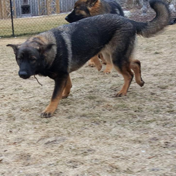 7 Month Old Female Ears not up - German Shepherd Dog Forums