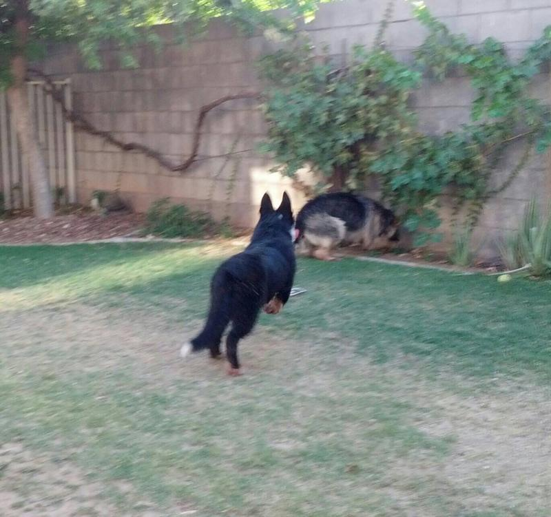 Panda shepherds? - German Shepherd Dog Forums