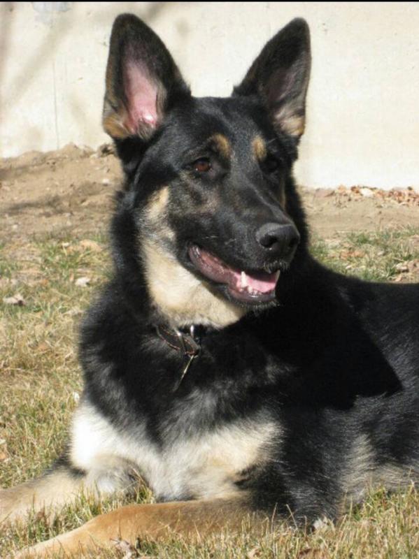 Show me your first German Shepherd-1373139102722.jpg