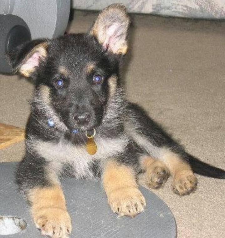 Show me your first German Shepherd-1373139114095.jpg