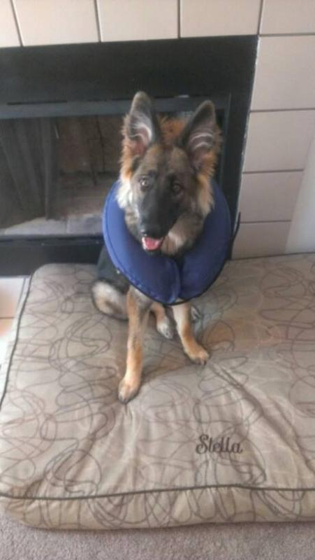 German shepherd with cone