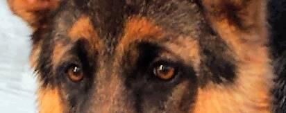 SHOW ME: Those GSD eyes!!-1384670993891.jpg