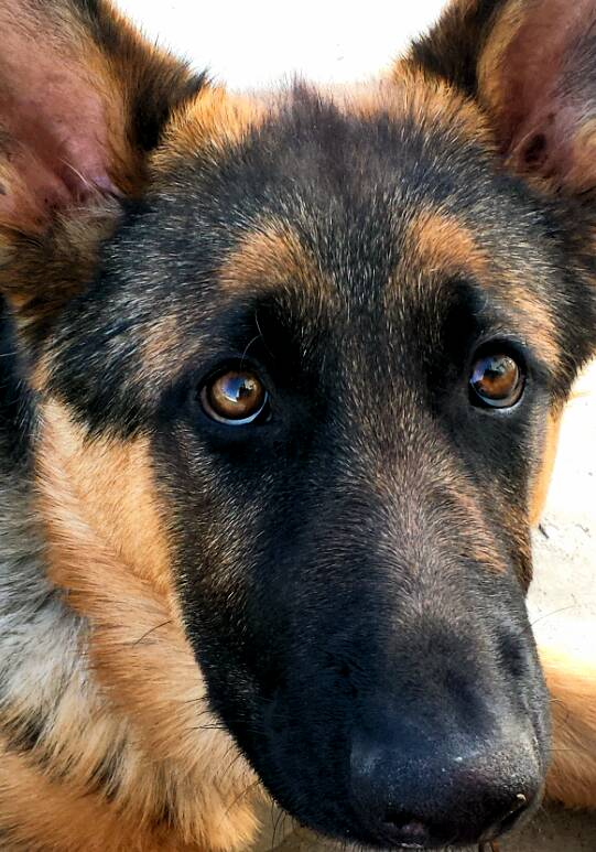 SHOW ME: Those GSD eyes!!-1384671006263.jpg