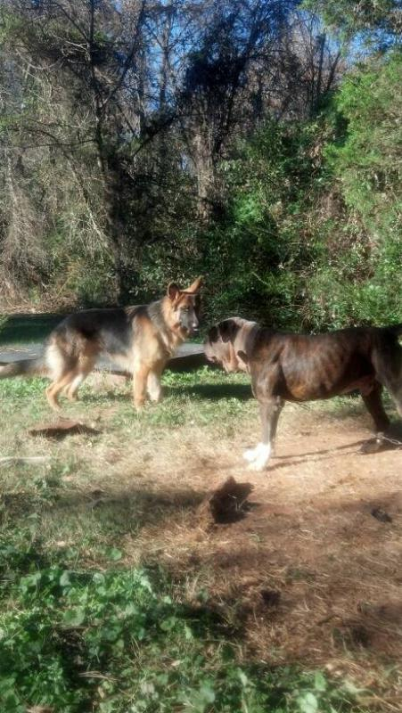 Show us your GSD with their Pack Mates!-1384992655515.jpg