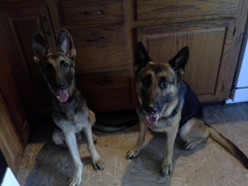 Show us your GSD with their Pack Mates!-1385017883686.jpg