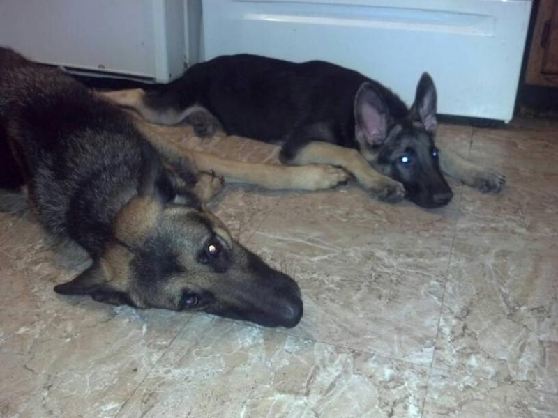 Show us your GSD with their Pack Mates!-1385017934847.jpg