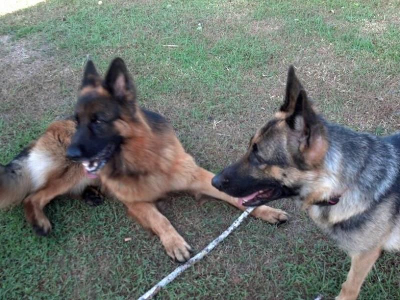 Show us your GSD with their Pack Mates!-1385017993213.jpg