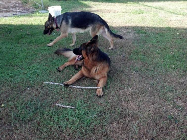 Show us your GSD with their Pack Mates!-1385018048139.jpg