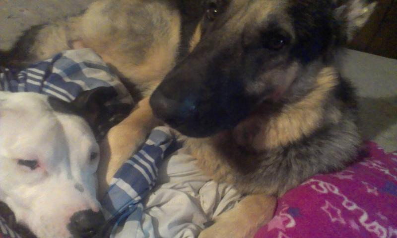 Show us your GSD with their Pack Mates!-1385019889887.jpg