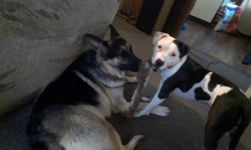 Show us your GSD with their Pack Mates!-1385019918679.jpg