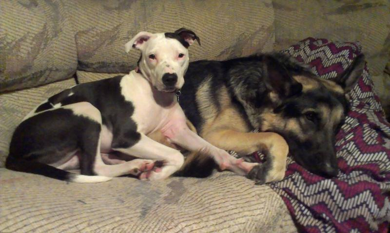 Show us your GSD with their Pack Mates!-1385019948298.jpg