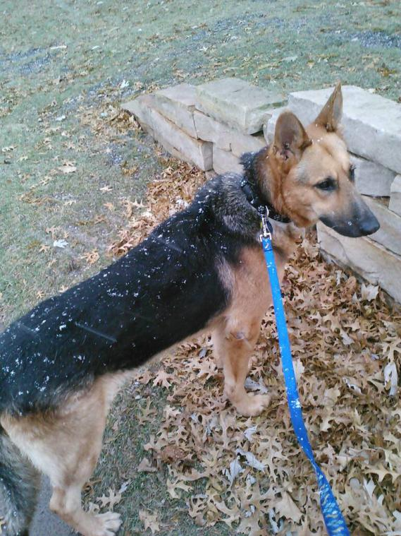 Rescued GSD anxiety with sound of horses whinnying-1386302265833.jpg