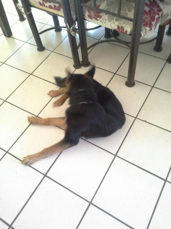 Why is my Female German Shepherd so skinny?-1390064030780.jpg