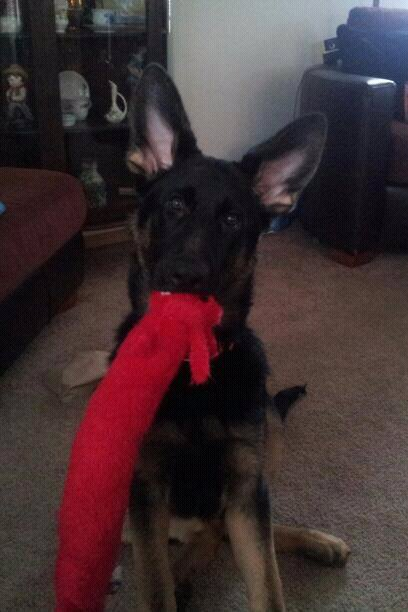 Let's See Your Dog with His/Her Favorite Toy.-1391761123838.jpg
