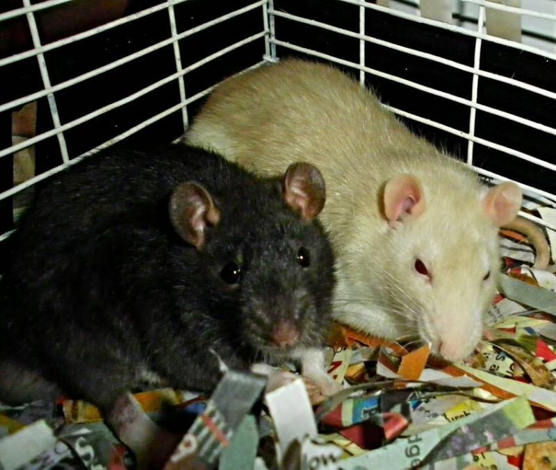 Meet Our Rats!-1396724027023.jpg
