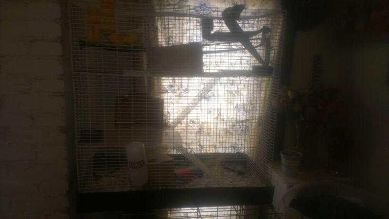 Meet Our Rats!-1396724043094.jpg