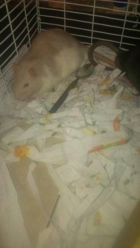 Meet Our Rats!-1396724059374.jpg