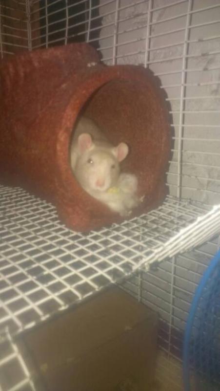 Meet Our Rats!-1396724123142.jpg