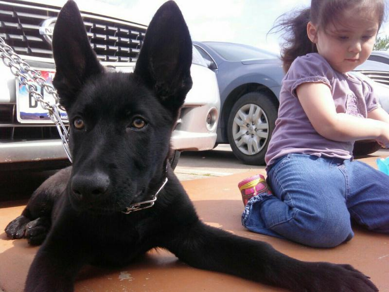 Shadow my 4 month old gsd-1397876679253.jpg