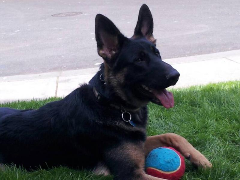 What Color Is Your GSD('s)?-1398152970092.jpg