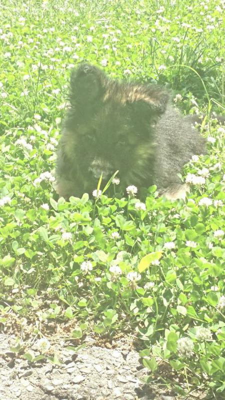 Kyzer playing outside :) almost 10 wks old-1400437438005.jpg
