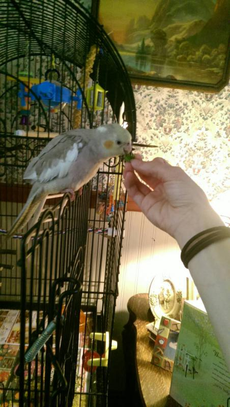 New Cockatiel: Update-1403112781734.jpg