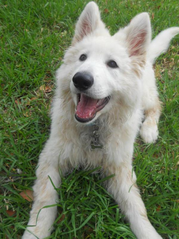 Meet Esmerala, my 11 week old white shepherd-1473042_10201816586207582_773993663_n.jpg