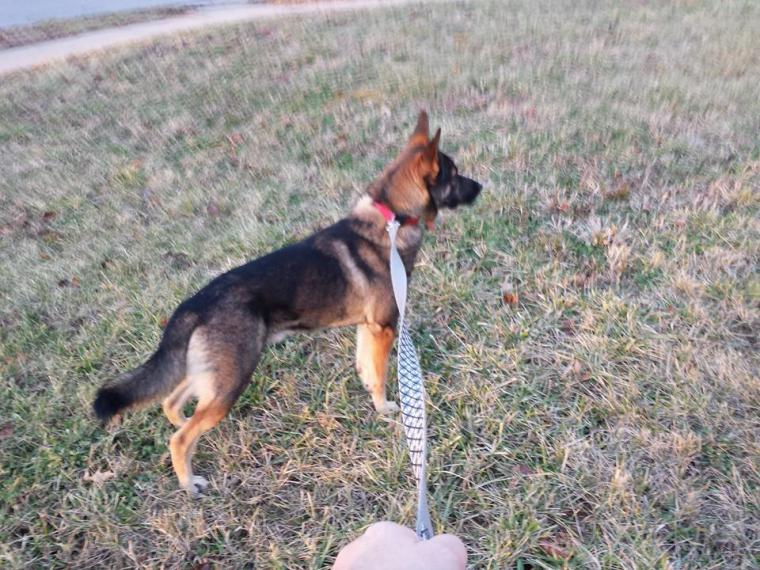 10 month old Gsd. weight issues-1477908_10202514872660403_262233005_n.jpg