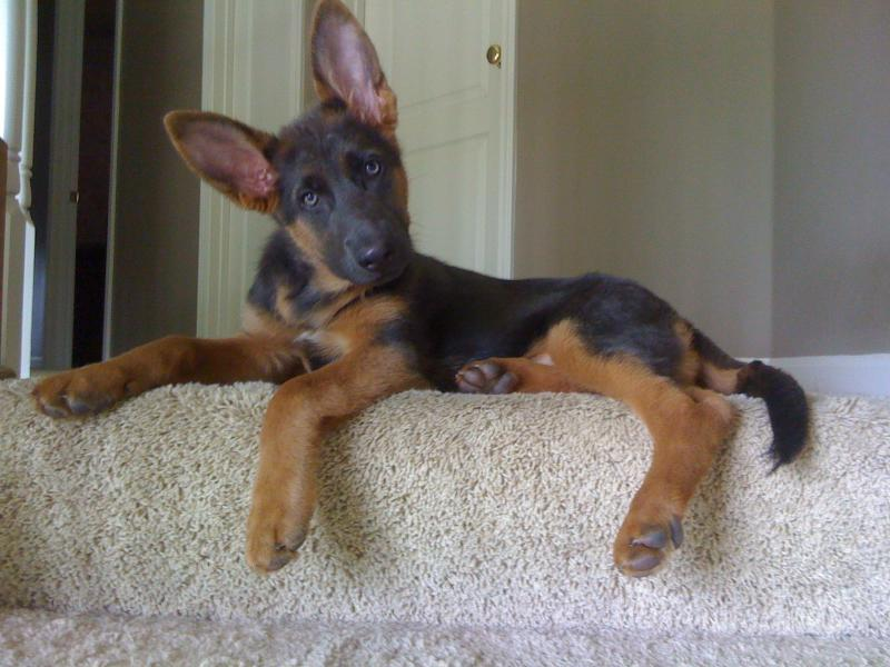 15-Week Old Blue GSD Kaiya...as Home Decor! - German Shepherd Dog Forums