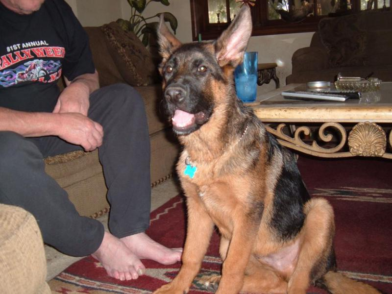 what age do GSD's stop growing?-19-weeks.jpg