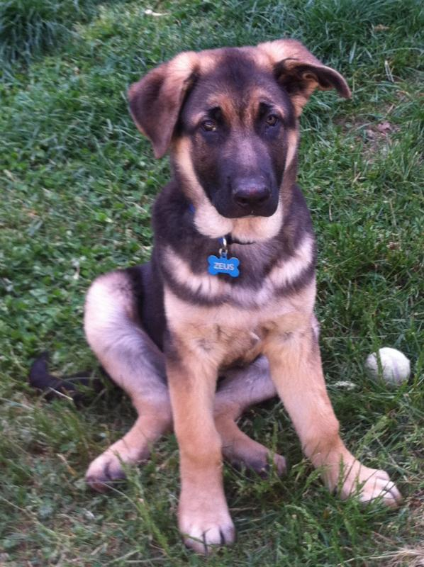 Long haired and short haired page 2 german shepherd dog forums