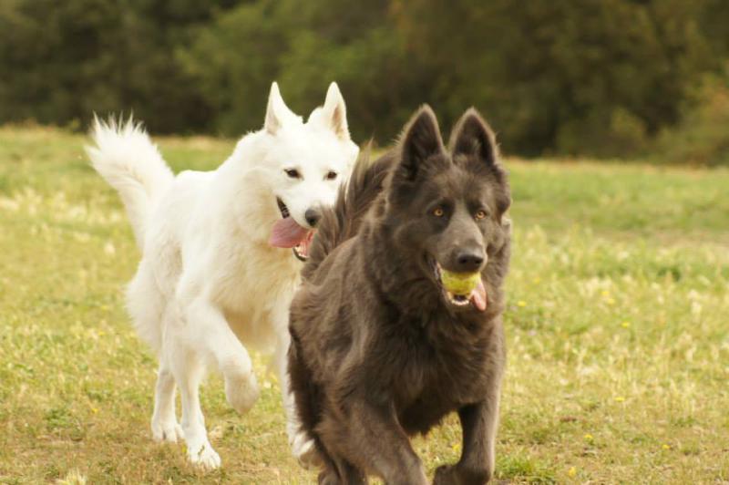 White German Shepherd with Blue Eyes