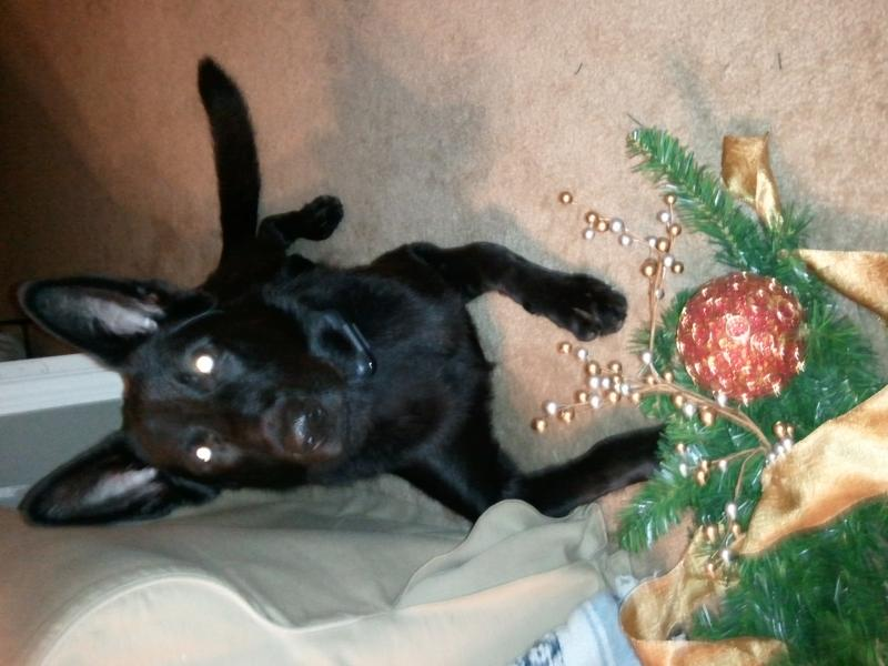 Show Your Beautiful Black GSDS!-2011-12-14-22.01.25.jpg