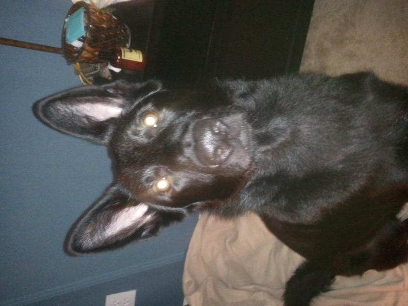 Show Your Beautiful Black GSDS!-2011-12-15-06.55.06.jpg